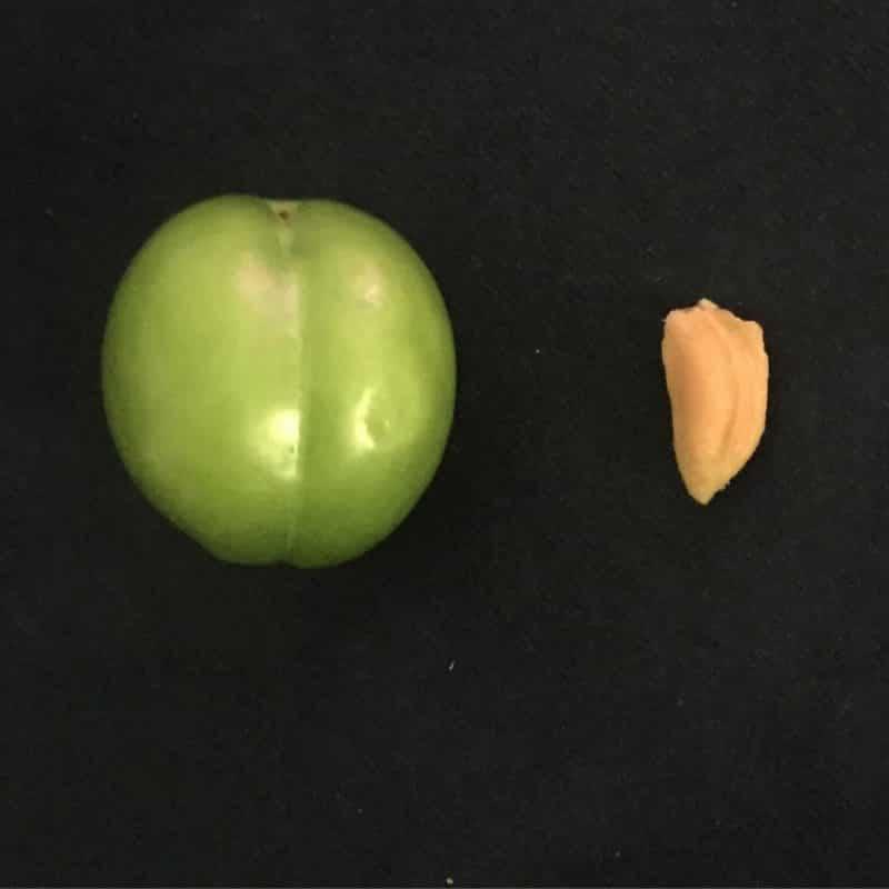 گوجه سبز هسته و ارتودنسی
